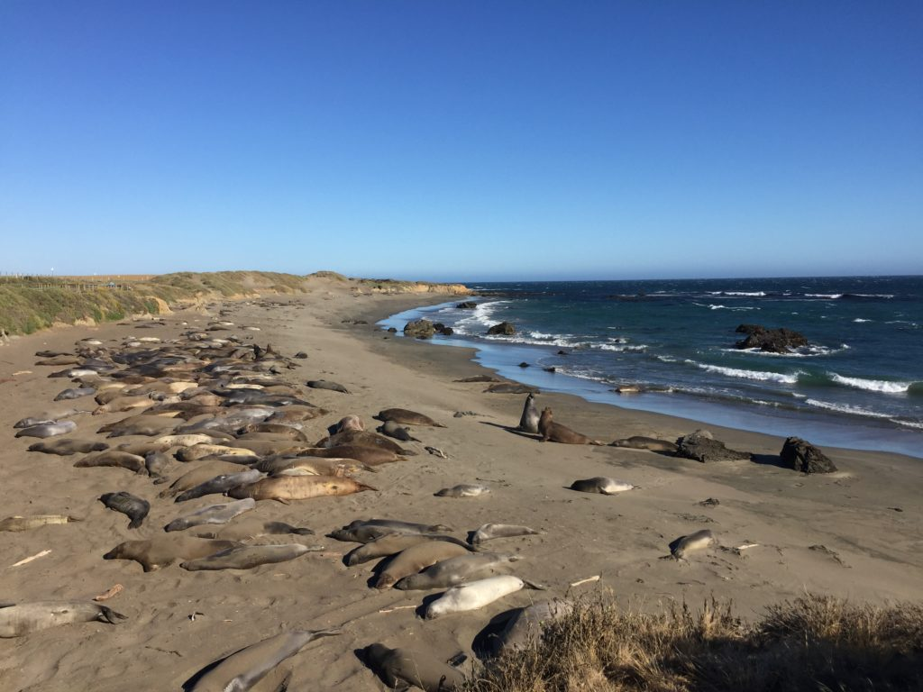 Friends of the Elephant Seal in Cambria