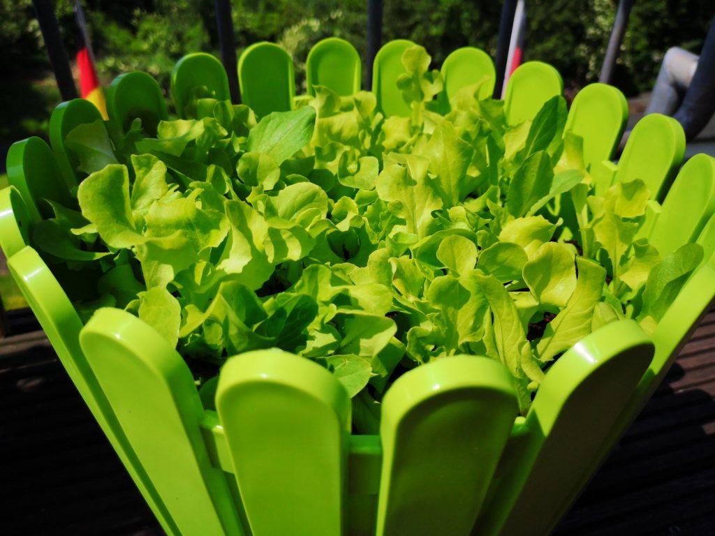 Den Substral Salat-Mix kann man das ganze Jahr über anpflanzen