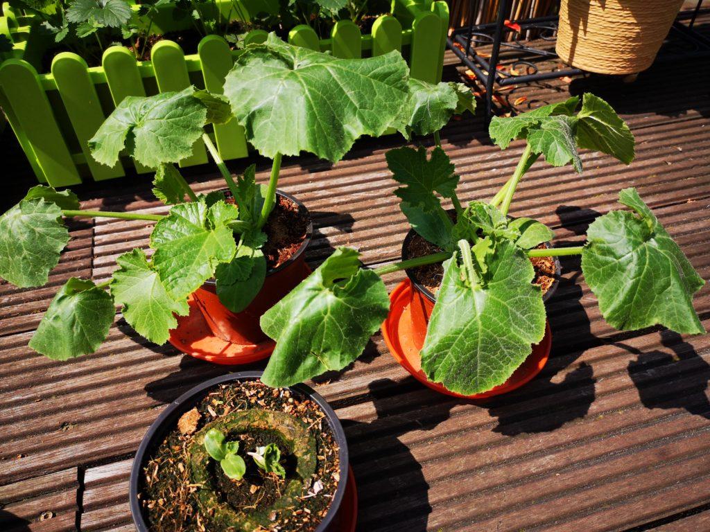 Die kleinen Pflanzen sind gewachsen und müssen umgesetzt werden