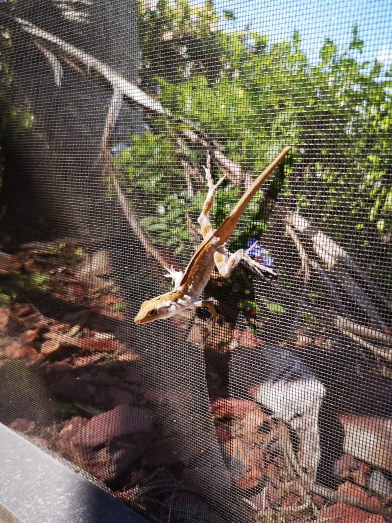 geckos sind in florida ganz normal