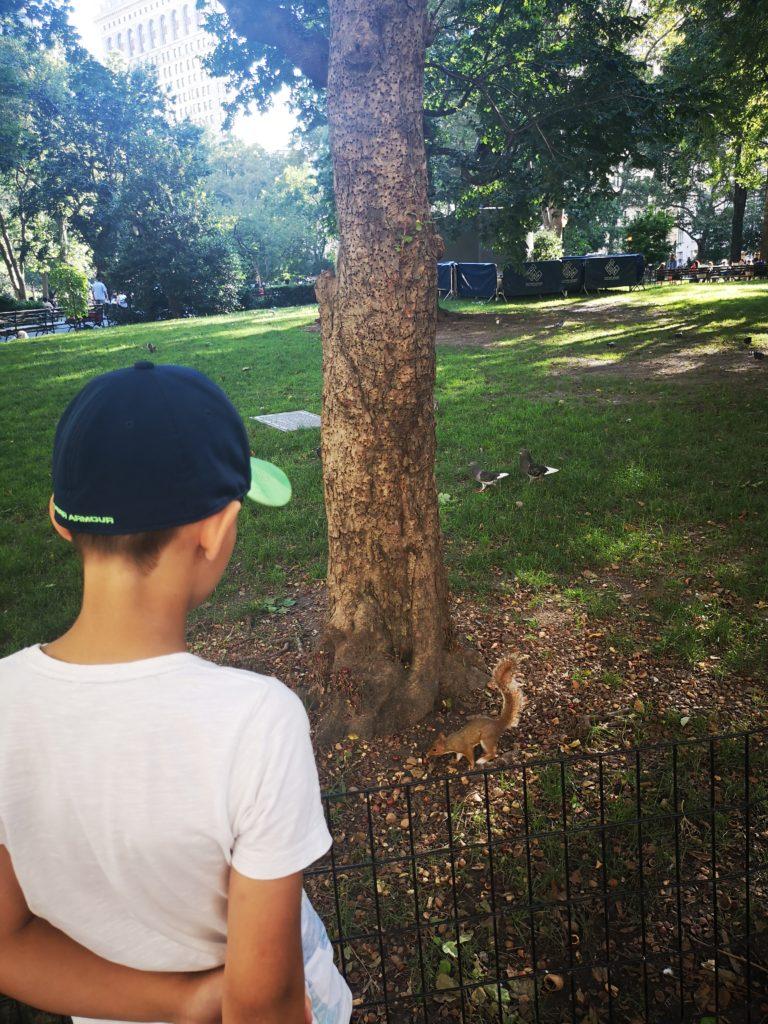 eichhörnchen beobachten im madison sqaure park