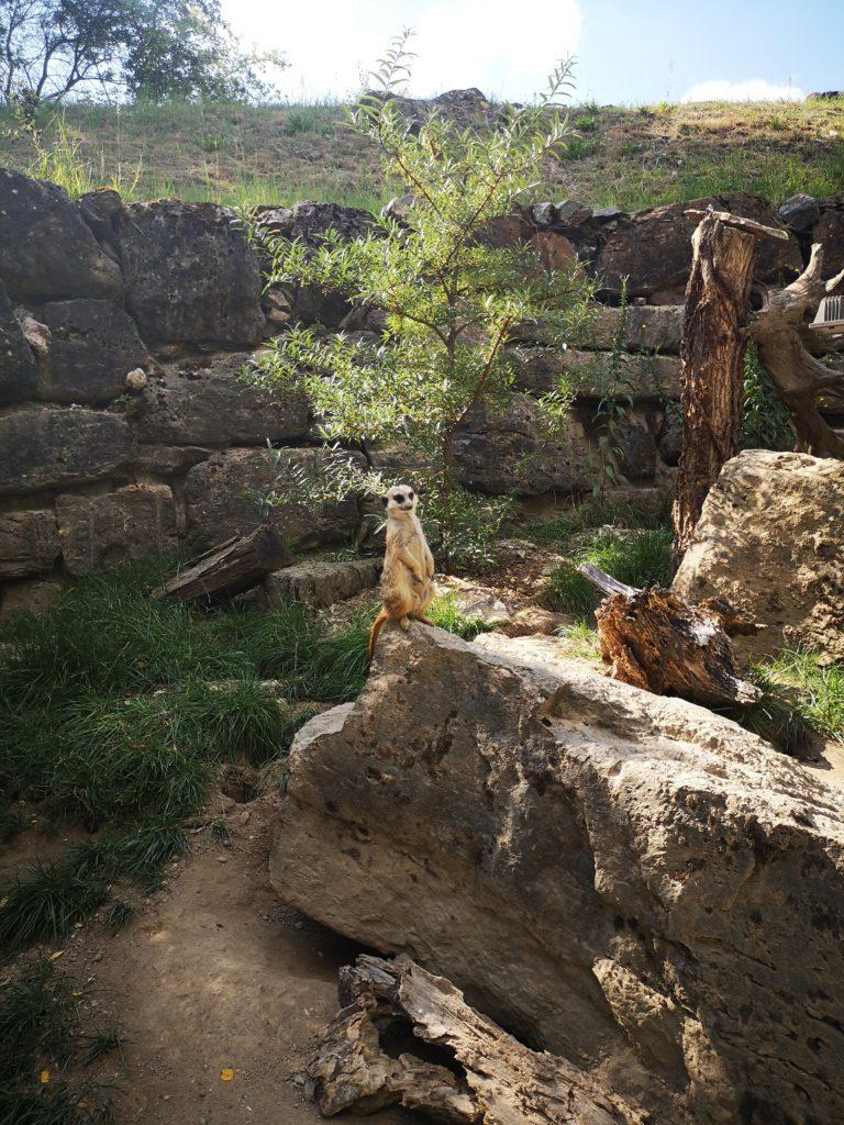 erdmännchen im opel-zoo