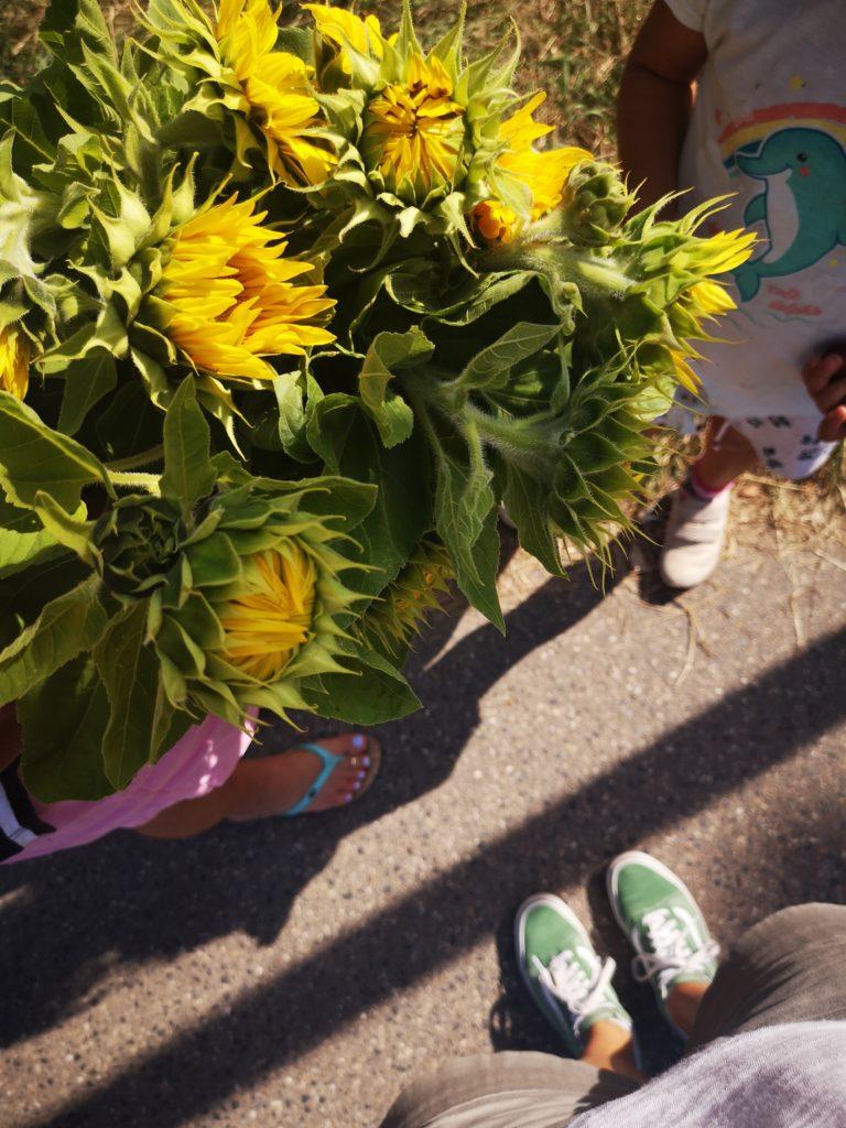 frische sonnenblumen vom feld